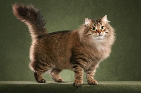 Сибирские кошки (описание, уход). 30 фото