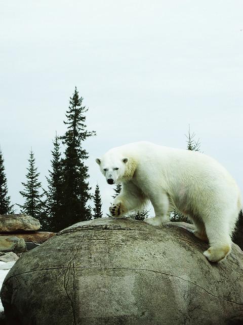Приют белых медведей. Кокрэйн. Фото