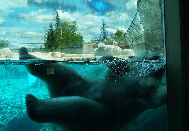 Приют белых медведей в Кокрэйне. Фото
