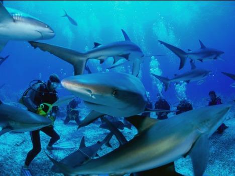 Акулы в Большой голубой дыре. Фото