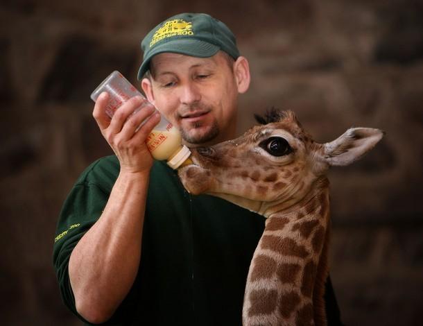 Смотритель кормит детеныша жирафа. Фото
