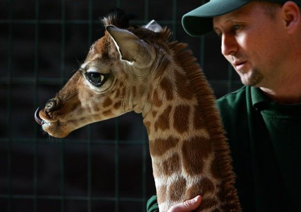 Детеныш жирафа и смотритель зоопарка. Фото