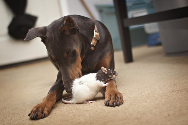 Дружба животных. Собака и крыса