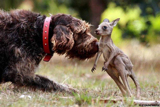 Дружба животных. Собака и детеныш кенгуру