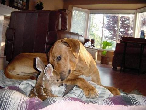 Дружба животных. Собака и олененок