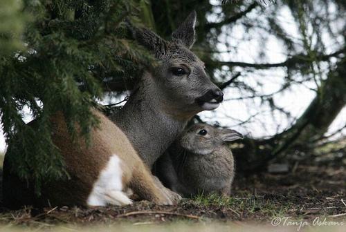 Дружба животных. Олень и заяц