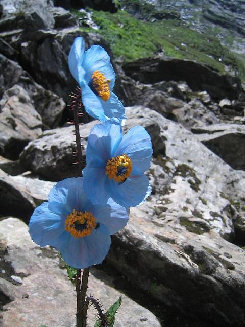 Долина Цветов в Гималаях. Голубой мак