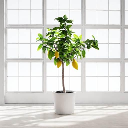 Chocofur_Lemon_Tree