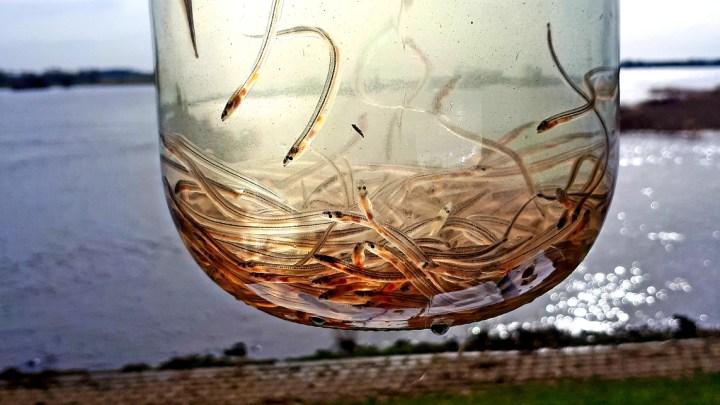 Artenschutz: 450.000 Glasaale in Elbe ausgesetzt