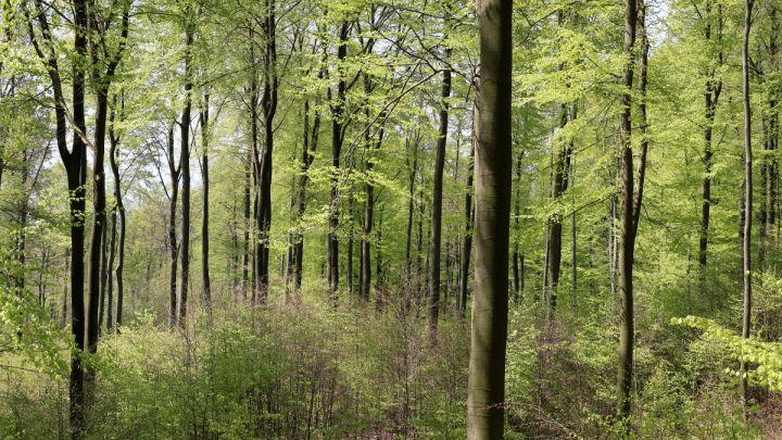 Laubholzernte in der Deine: Niedersächsisches Forstamt Oerrel beginnt mit der Ernte starker Buchen