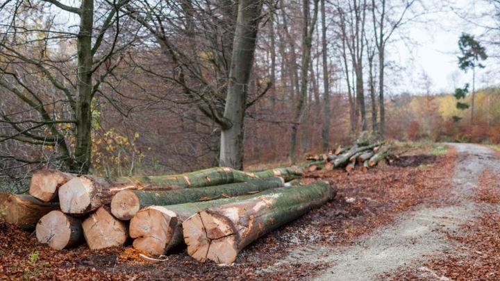 Laubholzernte in der Deine – Niedersächsisches Forstamt Oerrel beginnt mit der Ernte starker Buchen
