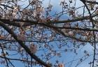 桜 五分咲き