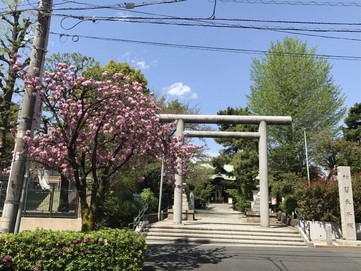 桜新町の駅前通り、八重桜はいまが満開!