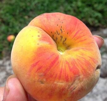 UFSun fruit