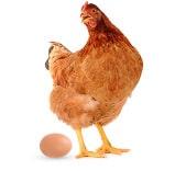 laying hens - Nini cha kuzingatia unapoendesha mradi wa mayai