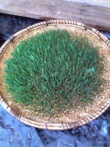 IMG 20150301 WA0006 225x300 - Uandaaji wa chakula cha mifugo kwa njia ya hydroponics fodder