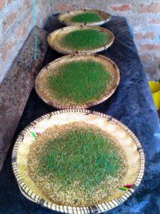 IMG 20150305 WA0001 225x300 - Uandaaji wa chakula cha mifugo kwa njia ya hydroponics fodder