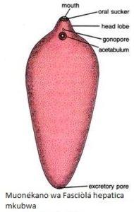 Fasciola H2 190x300 - Namna bora ya kupamabana na maambukizi ya minyoo bapa (Trematodes) kwa mifugo