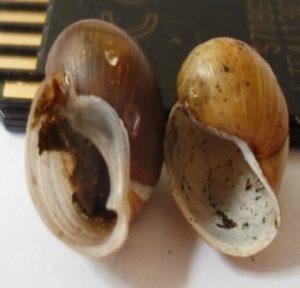 Snail3 300x288 - Namna bora ya kupamabana na maambukizi ya minyoo bapa (Trematodes) kwa mifugo