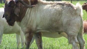 P1 1 - Kanuni za ufugaji bora wa mbuzi na kondoo