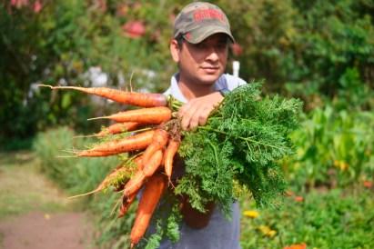 Marlin's freshly picked carrots!