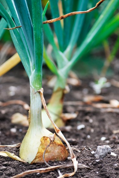An onion peeks out of the soil.