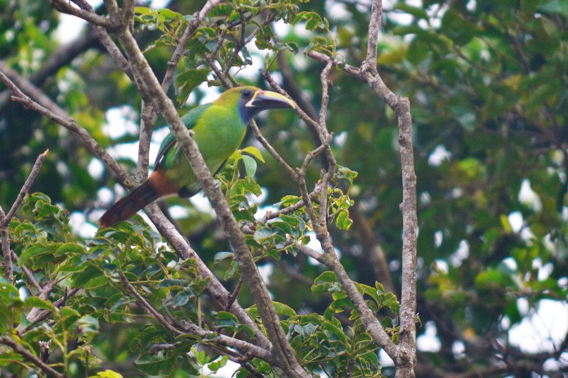 An emerald toucanet perches in a roadside tree.