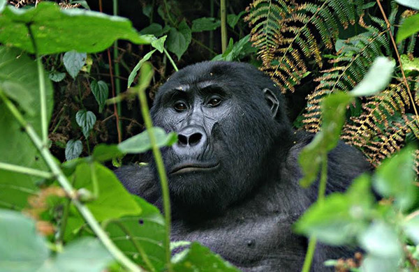 3-days-gorilla-safari-uganda