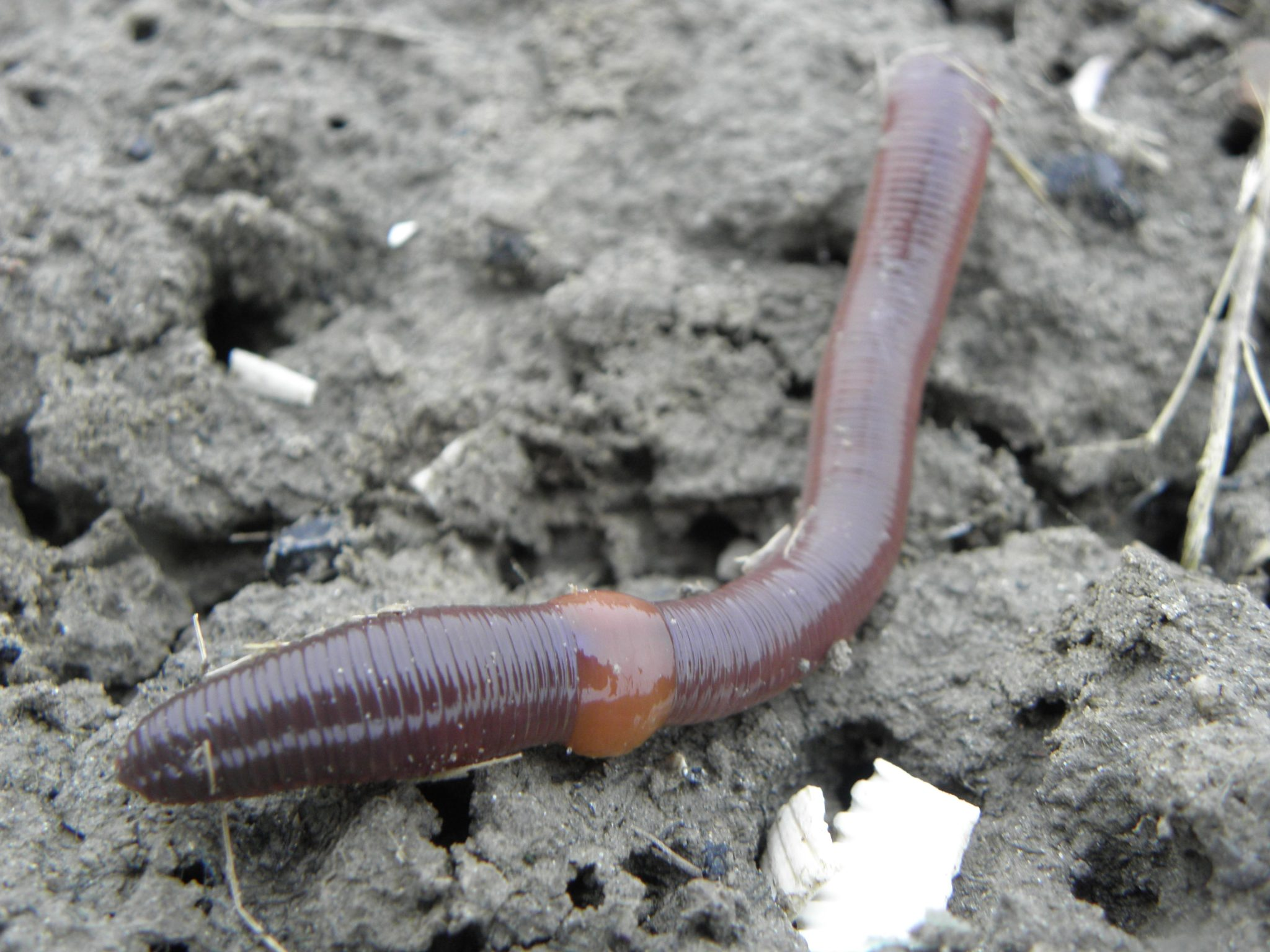 earthworms - photo #47