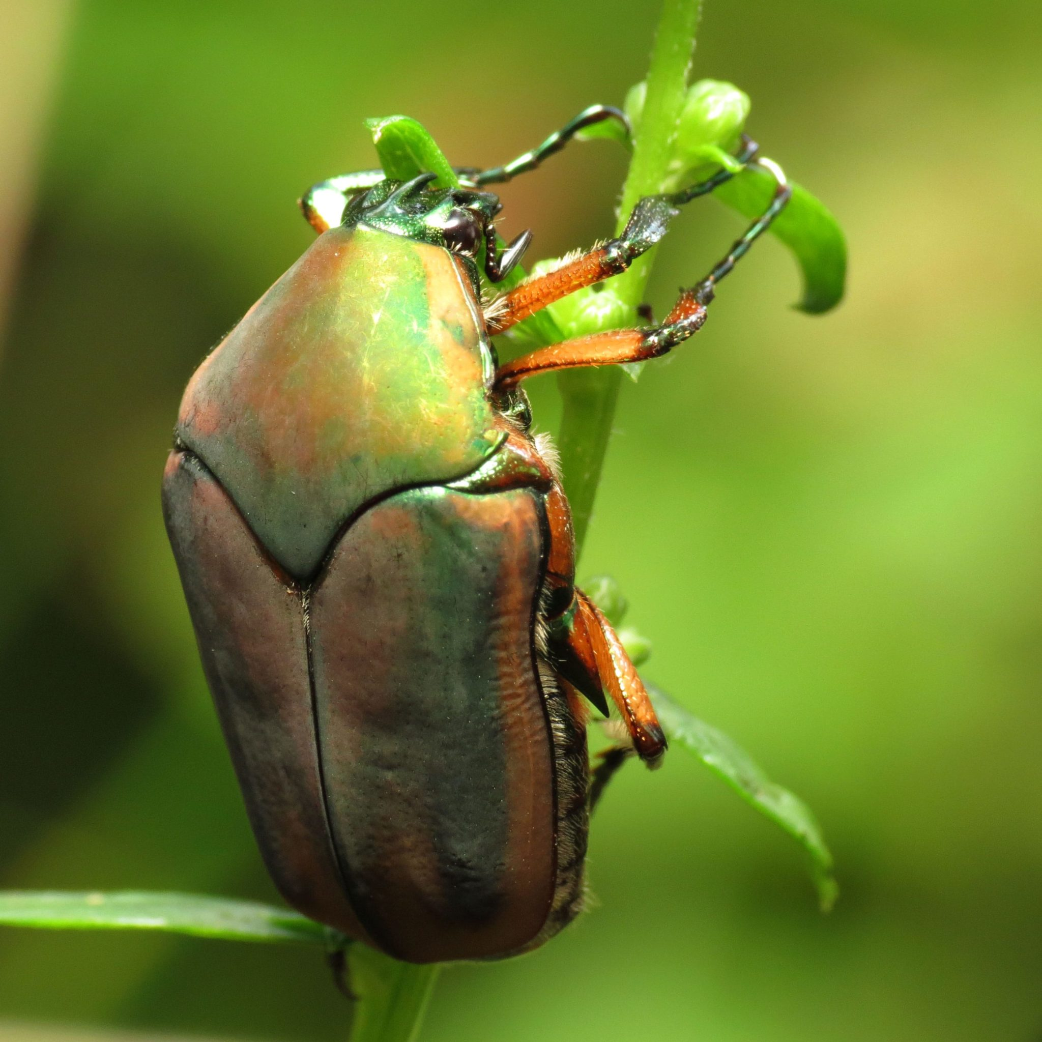 Green June Beetles - photo#16