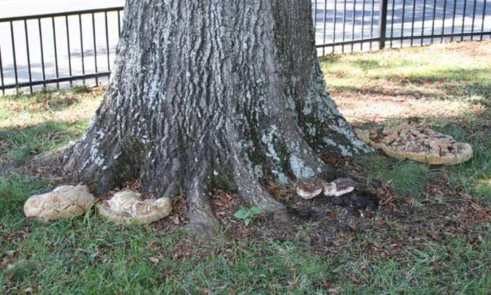 Inonotus decay on base of oak tree