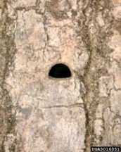 EAB exit hole Penn. Dept. of Conservation & Natural Resources - Forestry Archive
