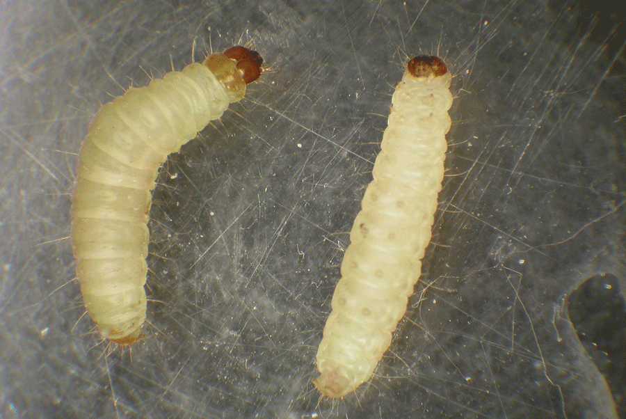 indianmeal moth is most common stored food pest in georgia