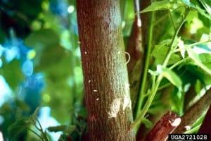 Ambrosia beetle sawdust 'toothpicks' - Byron Rhodes, UGA, Bugwood.org