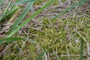 Image - Moss growing in turf, Rebecca Jane Lynch
