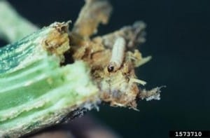Squash Vine Borer Larva Photo by Gerald Holmes, California Polytechnic State University at San Luis Obispo, Bugwood.org .