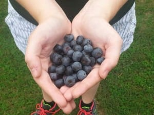 Best defense against the birds - keep the blueberry bushes picked!