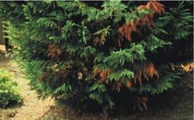 Bot canker - Dark, rust-colored dieback symptoms of Botryosphaeria (Bot) canker. G. Moody