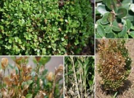Boxwood blight JWW