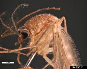 Southern House Mosquito, Pest and Diseases Image Library, Bugwood.org