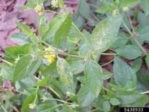 Why do these lantana have injured leaves and no blooms?