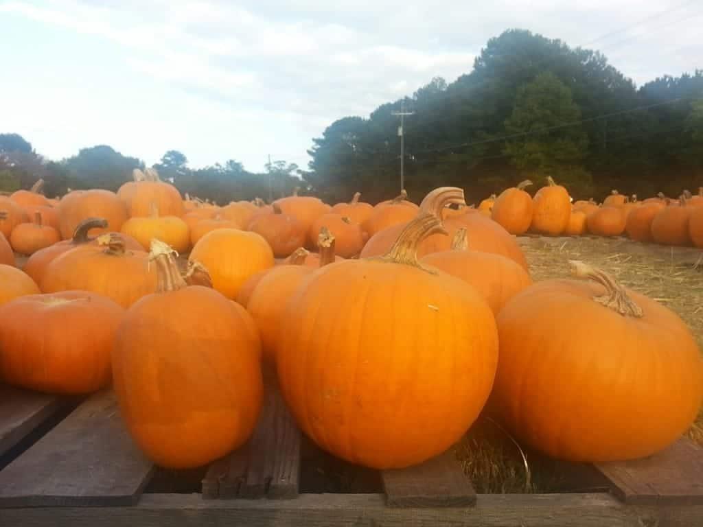 growing halloween pumpkins in georgia - Growing Halloween Pumpkins