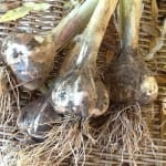 Harvesting Garlic from Your Georgia Garden