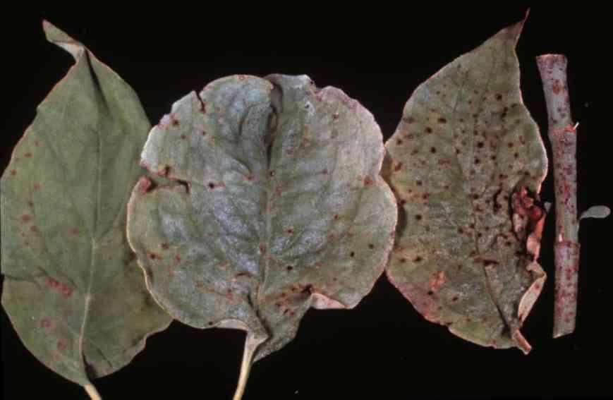 Spot anthracnose causes reddish spots on dogwood leaves