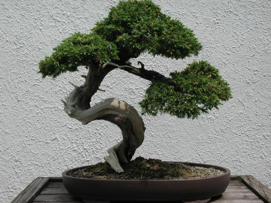 bonsai-tree-3preview