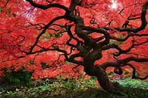 Cutleaf Japanese Maples