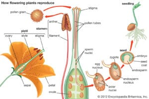 Describes pollination and fertilization
