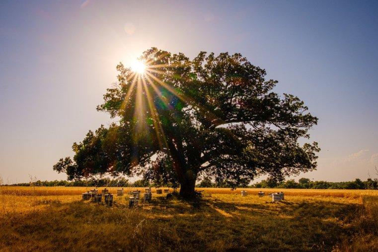 Oak tree, Provence, France