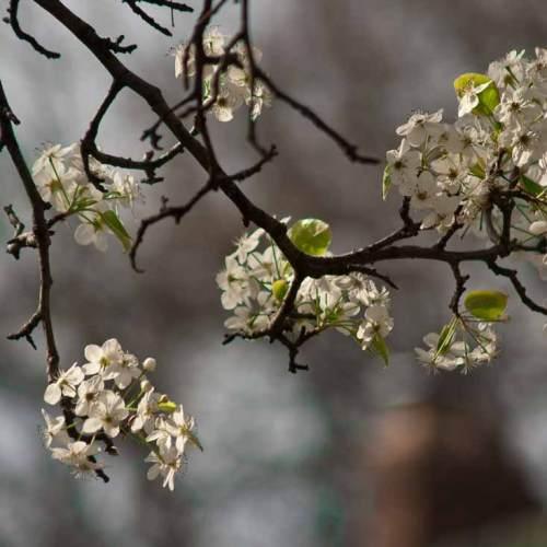 Photo: pear tree in bloom