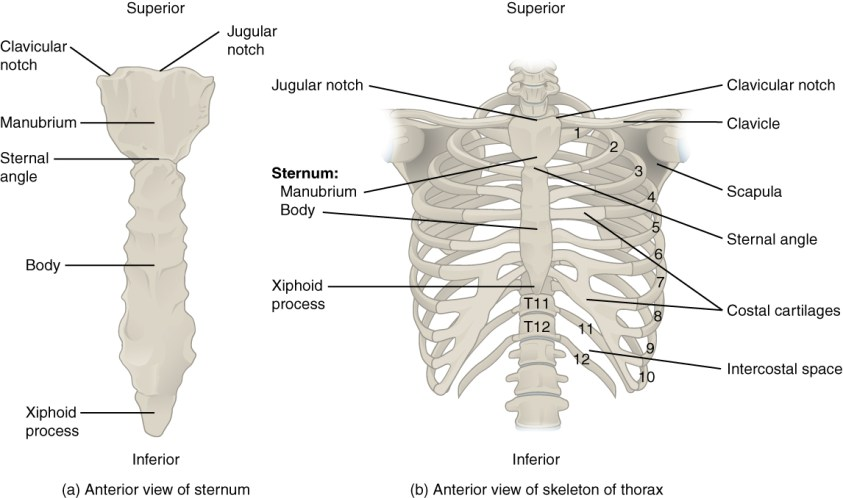 The Thoracic Cage - Anatomical Basis of Injury